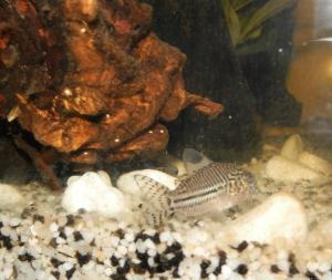 Ménagerie, plus de 3.000L d'aquariums Mini_803865CorydorasTrilineatus0004