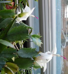 cactus de noel en fleur Mini_816001P1080603