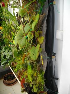 culture des bégonias sur mur végétal Mini_841034IMGP2145