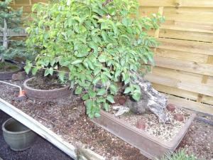 Prunus mahaleb No 2 Mini_853421DSC00564