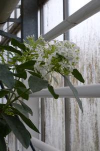 Quelques arbustes tropicaux en fleurs  Mini_865783P1080968