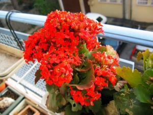Thème du mois de Janvier 2012 : Rouge c'est rouge. Le mot rouge vous fait penser à quoi ? Mini_867776kalanchoerouge