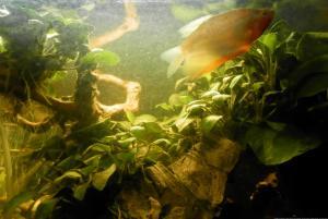 Ménagerie, plus de 3.000L d'aquariums - Page 2 Mini_887069GouramiPerl0040