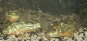 Ménagerie, plus de 3.000L d'aquariums Mini_891606CorydorasPaleatus0005