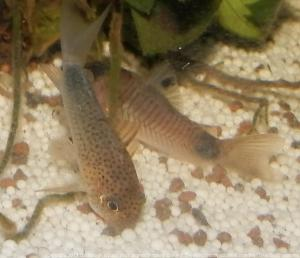 Ménagerie, plus de 3.000L d'aquariums Mini_894441CorydorasSimilis0016