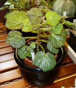 Mes plantes-boutures rescapées de cet hiver... Mini_89504009Bboomer