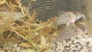 Ménagerie, plus de 3.000L d'aquariums - Page 2 Mini_895664CorydorasLeucomelas0007