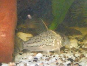 Ménagerie, plus de 3.000L d'aquariums Mini_906600CorydorasSchwartzi0002