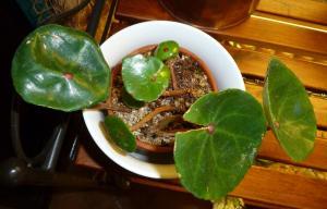 Mes plantes-boutures rescapées de cet hiver... Mini_90900411Bconchifolia