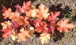 quelques plantouilles au jardin, en ce moment ! Mini_929185HPeachFlamb