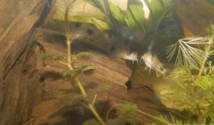 Ménagerie, plus de 3.000L d'aquariums Mini_929483CorydorasPanda0015