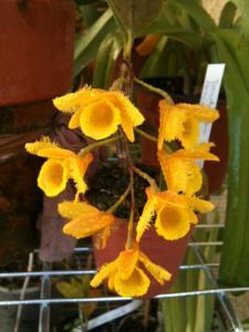 Dendrobium harveyanum Mini_931025Dendrobiumharveyanum4