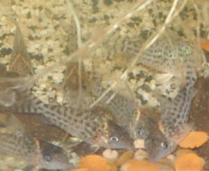 Ménagerie, plus de 3.000L d'aquariums - Page 2 Mini_943762CorydorasLeucomelas0002
