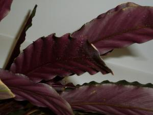 Calathea Rufibarbara Mini_953846P1000681