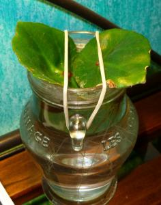 Mes plantes-boutures rescapées de cet hiver... Mini_96215406Bconchifolia