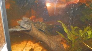 Ménagerie, plus de 3.000L d'aquariums - Page 2 Mini_964638Ancistrus0033