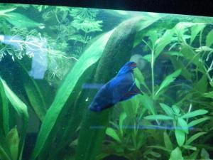 Ménagerie, plus de 3.000L d'aquariums - Page 2 Mini_981546BettaMles0074