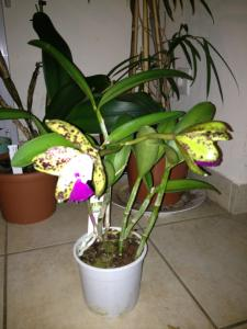 Cattleya green emerald 'orchid queen' Mini_987212photo84