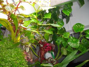 culture des bégonias sur mur végétal Mini_991213IMGP3561