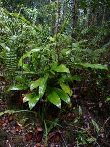 Nepenthes bicalcarata à Mulu NP Mini_997661P1040797