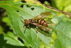 Hyménoptères - Hymenoptera