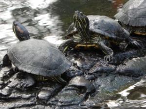 Les tortues du jardin botanique de Tours Mini_999408DSCN0437