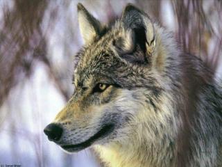 Les loups...... 304873loup_039