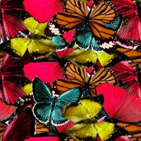Patterns de Rowie 128749Papillonsdetoutelescouleurs