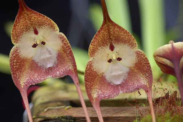 orchidée singe 129056ATT00003