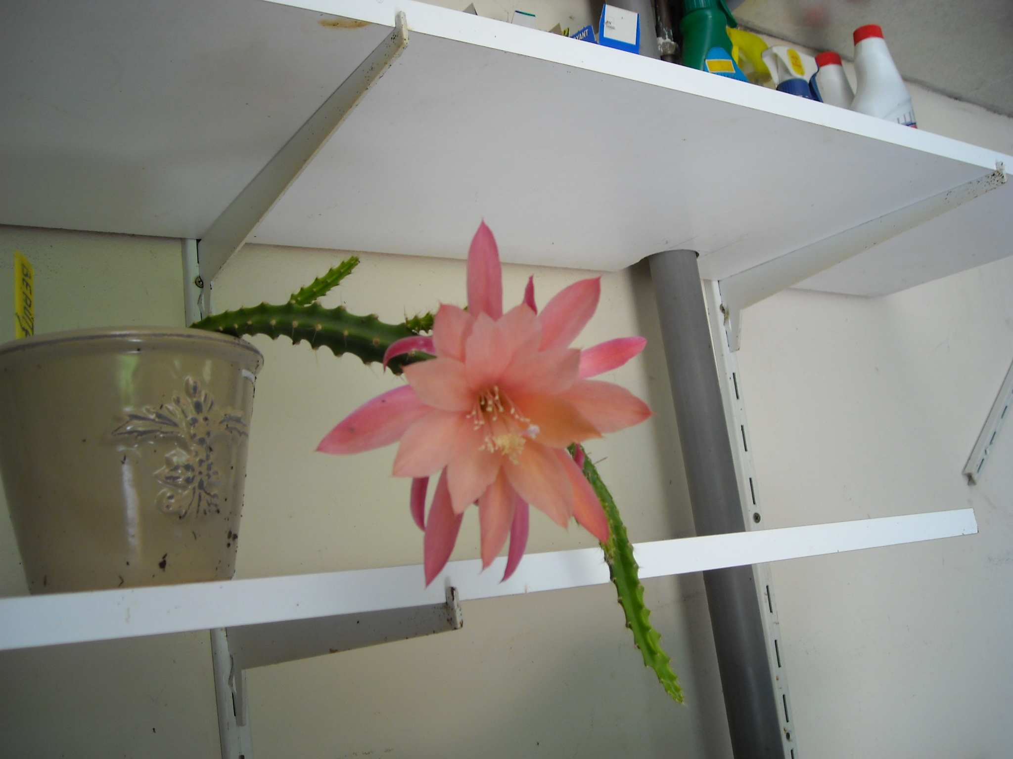 aporocactus beautg 129269aporocactusbeautg001