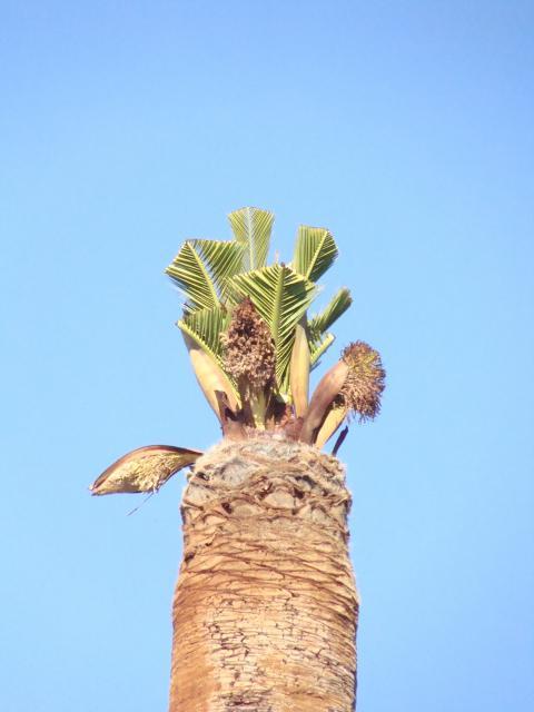 palmier - palmier, après le desespoir, un petit espoir.... 136184palmier010