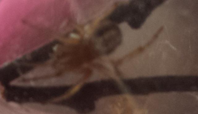VDS/ECH Steatoda nobilis / Ctenidae sp / Segestria sp. 13793020140805163045