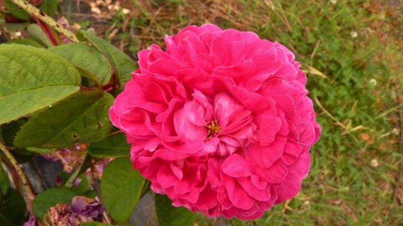 mes roses 2015 139923P1070940ret