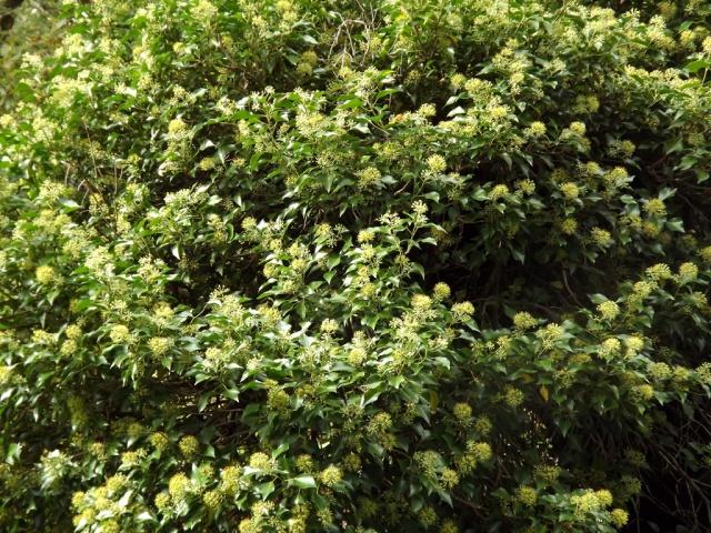 Hedera - lierre - espèces, hybrides horticoles 141296lierreenfleur