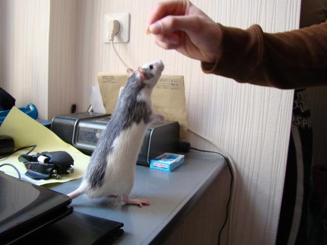 Entrée dans le monde des rats avec ces deux ptits ratous ! (NEWS 24/02 145377DSC00562