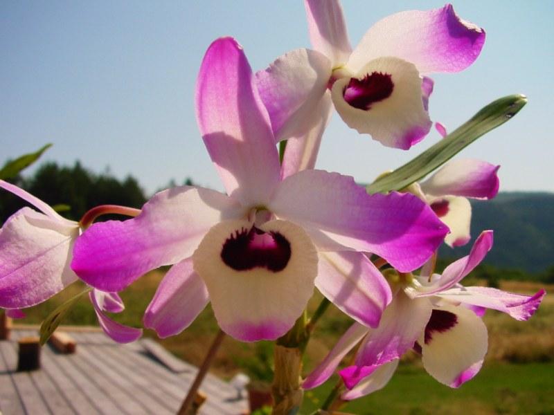 Dendrobium nobile 147230DSC05992800x600
