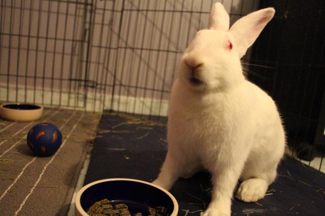 Association White Rabbit - Réhabilitation des lapins de laboratoire - Page 2 159661IMG8439
