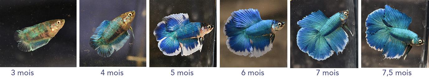 F3 - Lignée VL bleu HM/DT - Page 3 160499malef36evolution