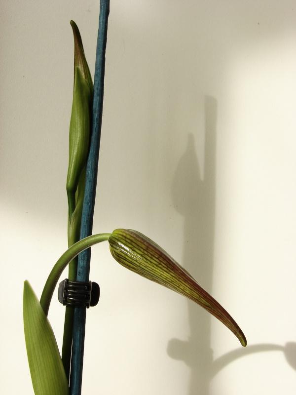 Phragmipedium Grande 'La Tuilerie' (caudatum x longifolium) 165642Flo2014au20140423