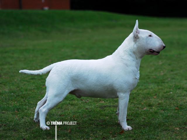 Bull terrier standard 167733vulcan220209sd
