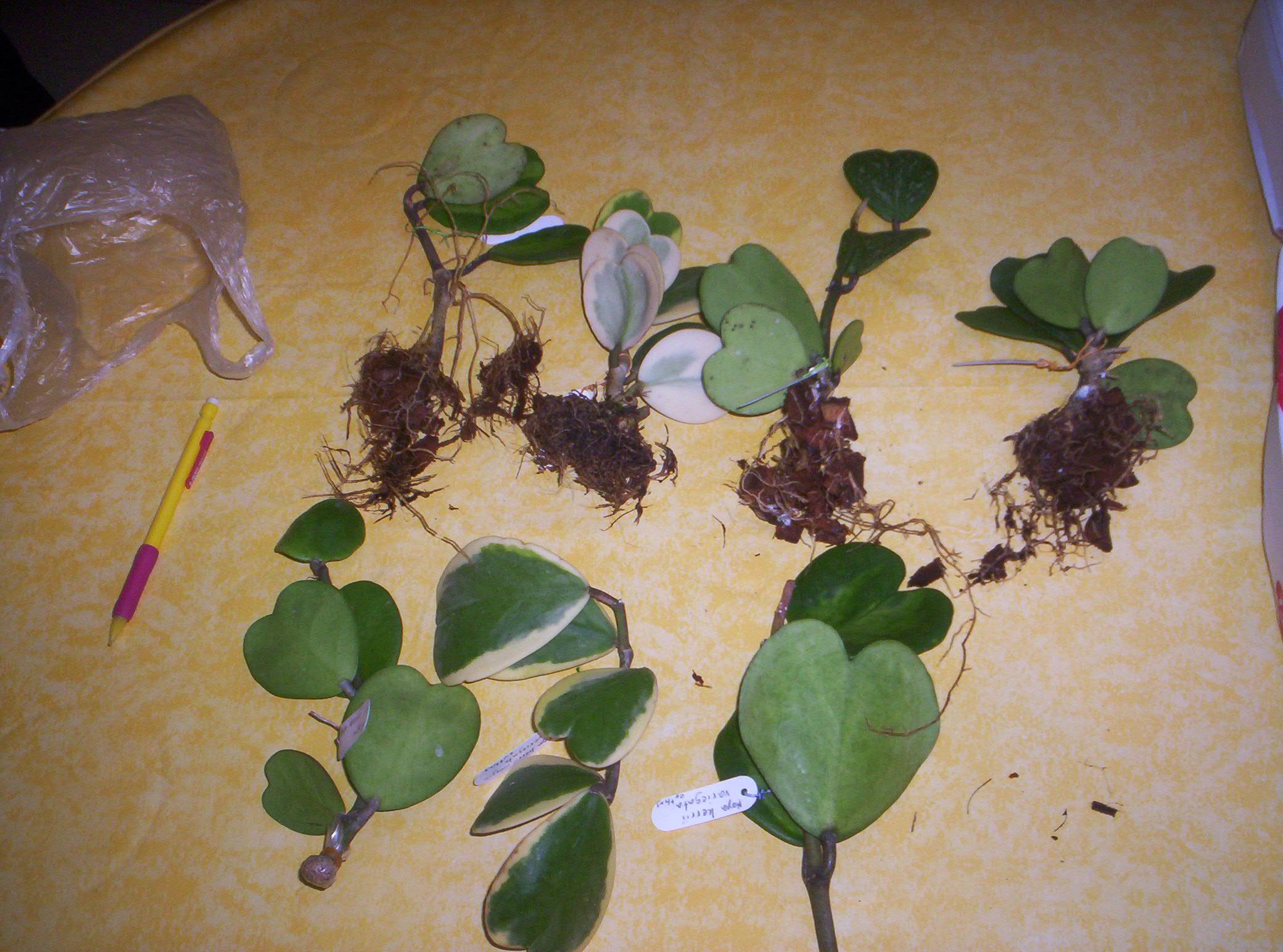 4 variétés de Hoya Kerii importés de thailande - Page 2 1721921000751