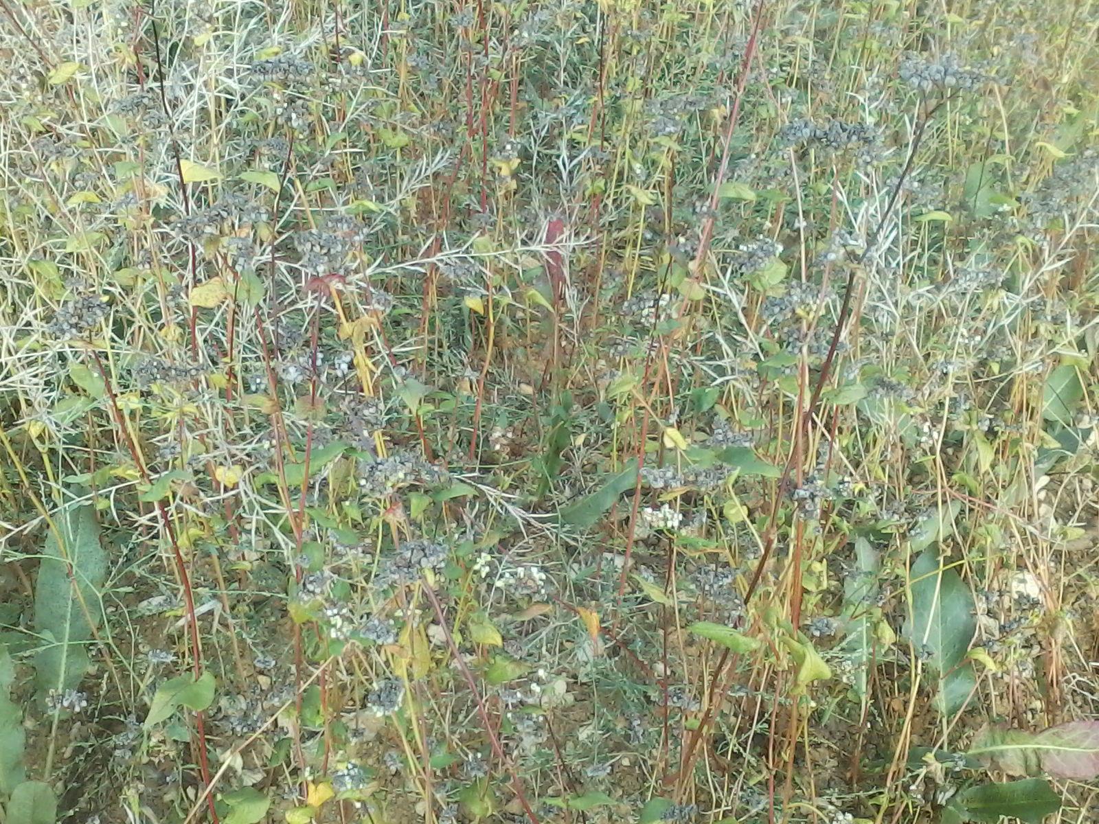 sarrasin et semis de sarrasin - Page 2 177230P080916163501