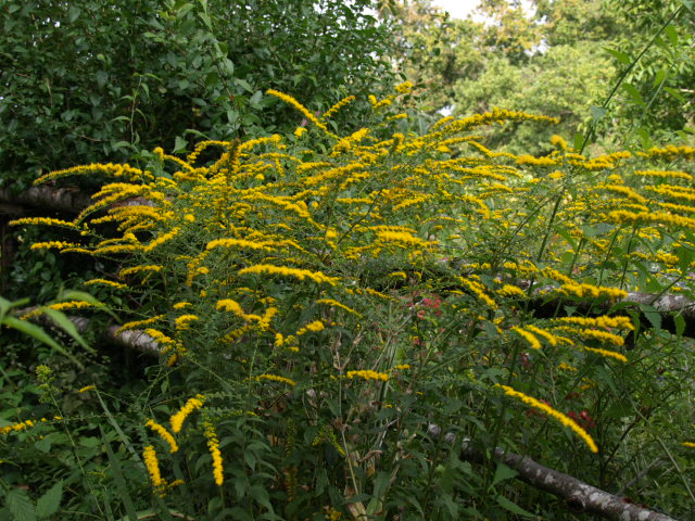 verge d'or ( Solidago ) - Page 2 180086P9233055