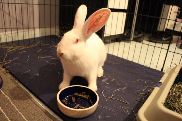 Association White Rabbit - Réhabilitation des lapins de laboratoire - Page 2 180583IMG8450