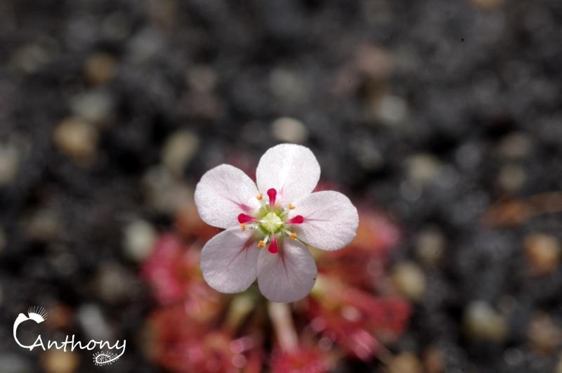 Une fleur de pygmé mais rien qu'une. 180666IMGP4971