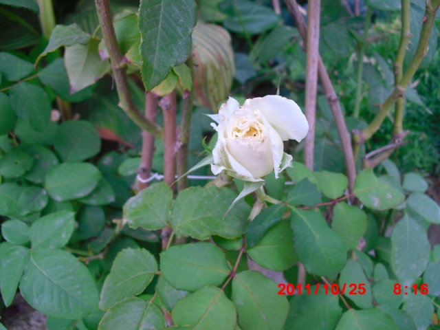 floraisons d'octobre - Page 5 190272Rpseblanche