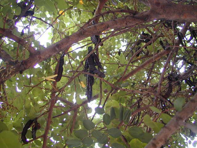 الخروبة 194318Carob_Tree