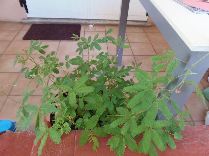 Mimosa pudica 202263photoforum2052