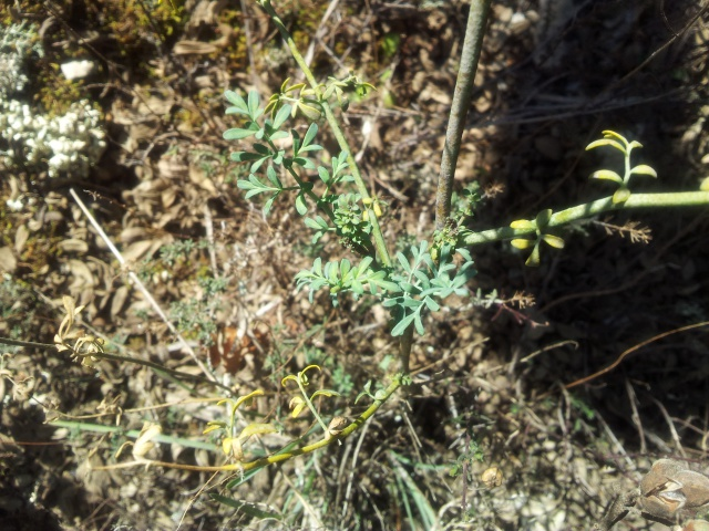 plante de garrigue 20546020160224151125