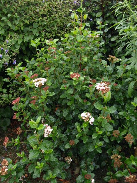 les arbustes persistants 205560P9293197